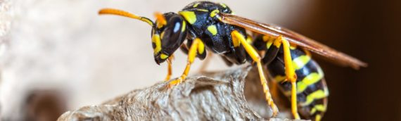 How to Remove Wasps
